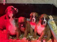 I.K.C registered boxer pups