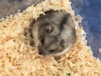Pedigree Russian Dwarf Hamster