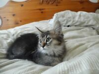 3 Mainecoon cross kittens for sale