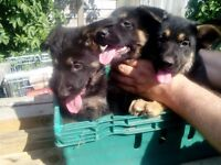 German shepard pups 3x bitch 3xdogs
