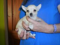 Chihuahua puppy for sale. Ready to go.