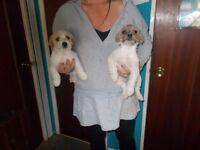 2 x jackashitz puppy,s