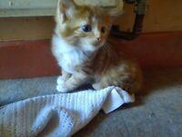 Ginger and white kittens -reserved