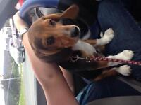Beagle Puppy $300 *Kennel Included*