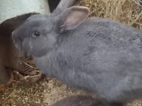 2 males rabbits for sale