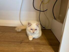 Little kitten rag doll/Persian