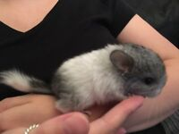 Female mosaic chinchilla kit