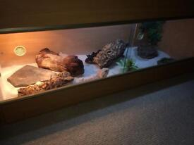 Vivarium (4ft long 20.5 inches high) and Bearded Dragon