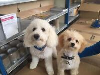 Poochon Puppies For Sale
