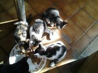 4 adorable kittens 8 weeks old, fully litter trained, eating well, wormed and fleaed