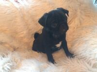 100% KC registered Pug Puppies New REDUCED Price