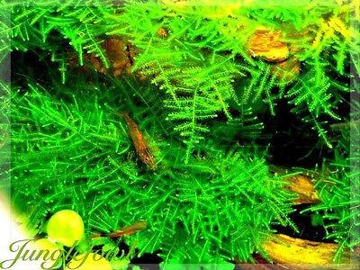 1 Peacock Moss Rare Moss Live Aquatic Plant Freshwater Aquarium Shrimp Tank