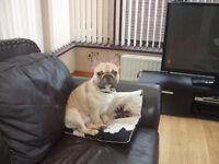 ******Beautiful French Bulldog******