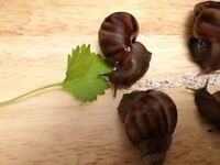 Pet Giant African Land Snails for sale - £ 3 each - Collection only