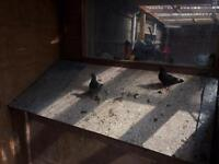 10 pigeons for sale 10 pound each
