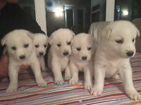 Husky x golden retriever white pups 2girls left
