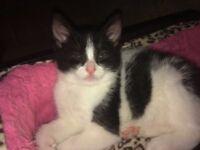 Kitten White&Black 9 weeks old Boy