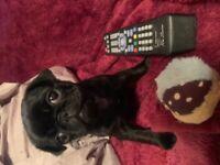 18/1/21XX tiny micro teddy bear pedigree pug puppy 9 weeks