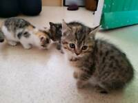 4 bsh cross kittens