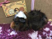 Lovely funky haired male guinea pig