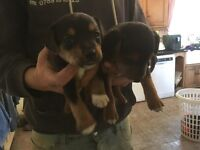**Jack Russell Puppies**