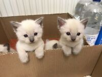 For sale Ragdoll kittens