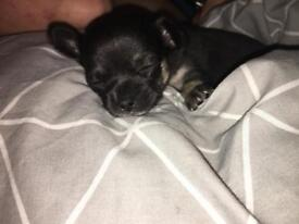 Female chihuahua puppy (Now sold!)