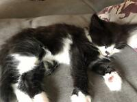 8 week old, fluffy, black & white kitten looking for his forever home