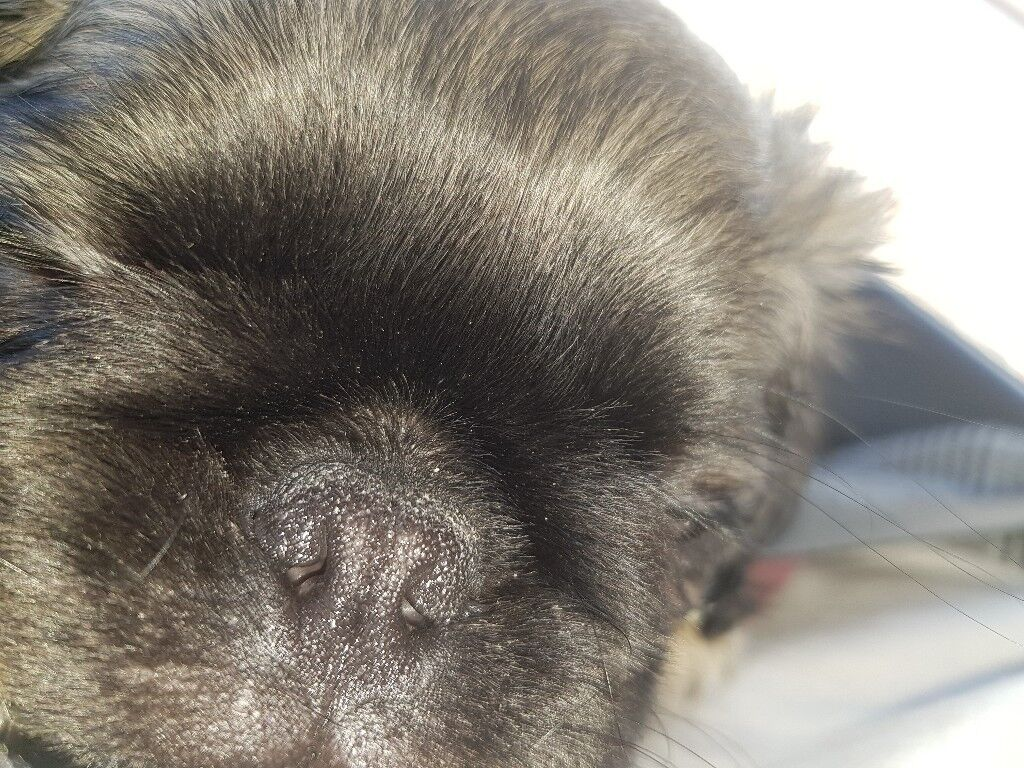 Long Haired Pedigree Pug With Papers In Plymouth Devon Gumtree