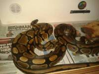 Royal pythons one male and one female +3ft viv