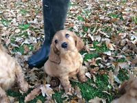Golden cocker puppies for sale(show type)