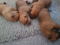 2 brown american bulldog girls will be chipped wormed flead and vet checked