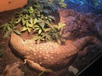 Male bosc monitor no viv!