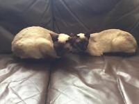 2 traditional Siamese cats