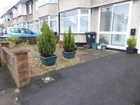 2 Medium Sized Conifers in Pots - Free