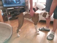 8month american bulldog x staffy bitch. With cage and extras. Please see full ad