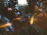 2 LARGE KOI CARP PLUS APPROX 20 GOLD FISH ELETRIC PUMP NETTING ETC