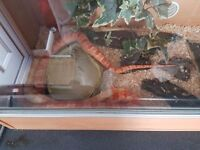 2 corn snakes and tank
