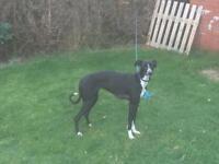 Suluki whippet grayhound 12 months old