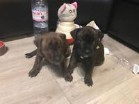 1 Puppy left from litter of 7 staffy staffordshire terrior dogs