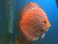 discus fish for sale, tropical community tank fish
