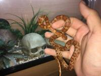 CB17 Female Masque Corn Snake
