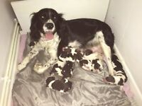 Springer spaniel pups/puppies/puppy's