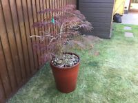 LARGE OUTDOOR FROST PROOF POT AND MAPLE TREE ... Torquay .....