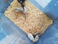 Pet Rat's for sale