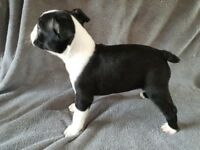 **Stunning KC registered Boston Terrier Puppies