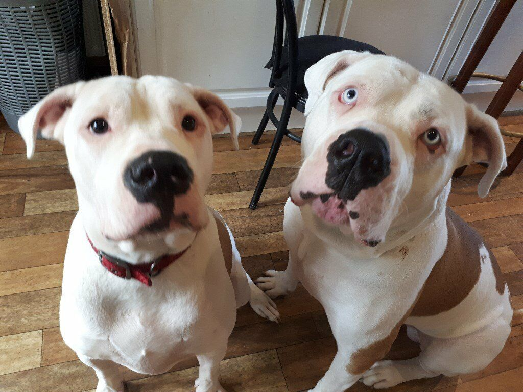 Johnson American Bulldog Puppies