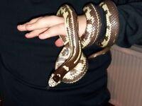 king snake for sale.