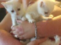Half RAGDOLL little white fluffy kittens