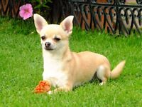 Female and Male Chihuahua available (Individually)